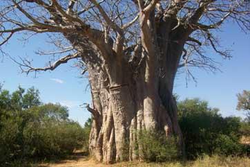 Baobab Kruger Panorama tour