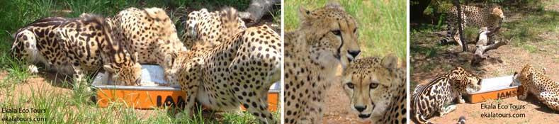 DeWildt Cheetah Sanctuary