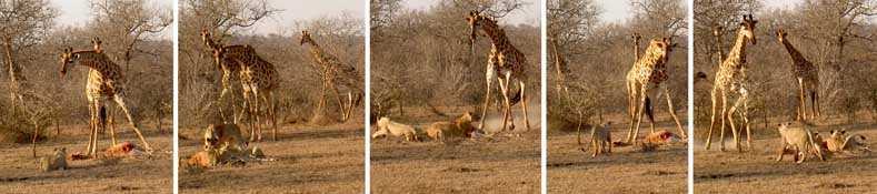 Lion attack on giraffe