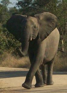 Elephant in road - Pilanesberg safari