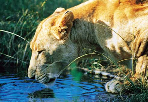 Lion Pilanesberg Safari – Ekala Eco Tours