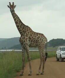 Pilanesberg-Giraffe