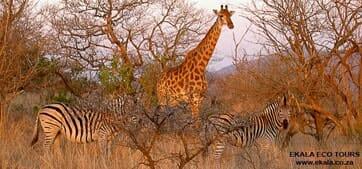 Zebra-and-Giraffe-Pilanesberg