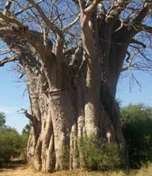 Baobab Kruger