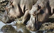 Hippo-Kruger-National-Park