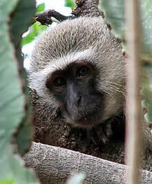 Vervet--Monkey