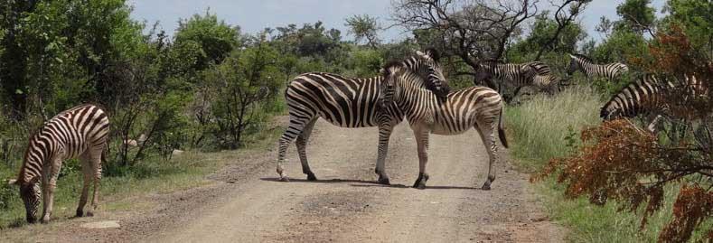 Zebra in Pilanesberg National park
