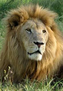 Pilanesberg-lion